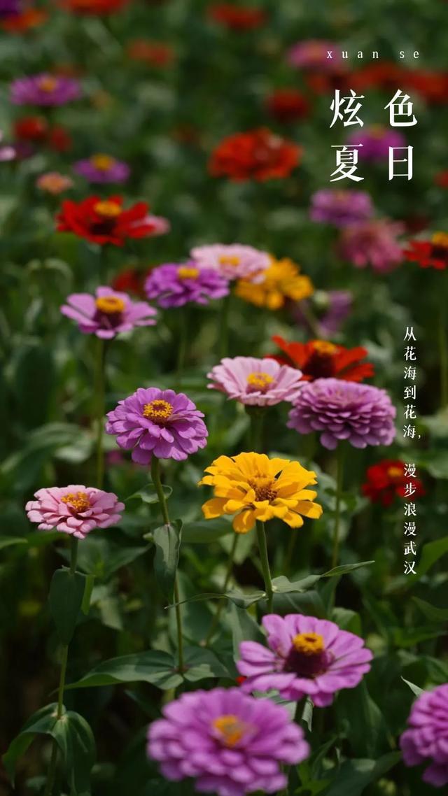 花海如烟火,来看武汉耀眼的夏日。 第2张
